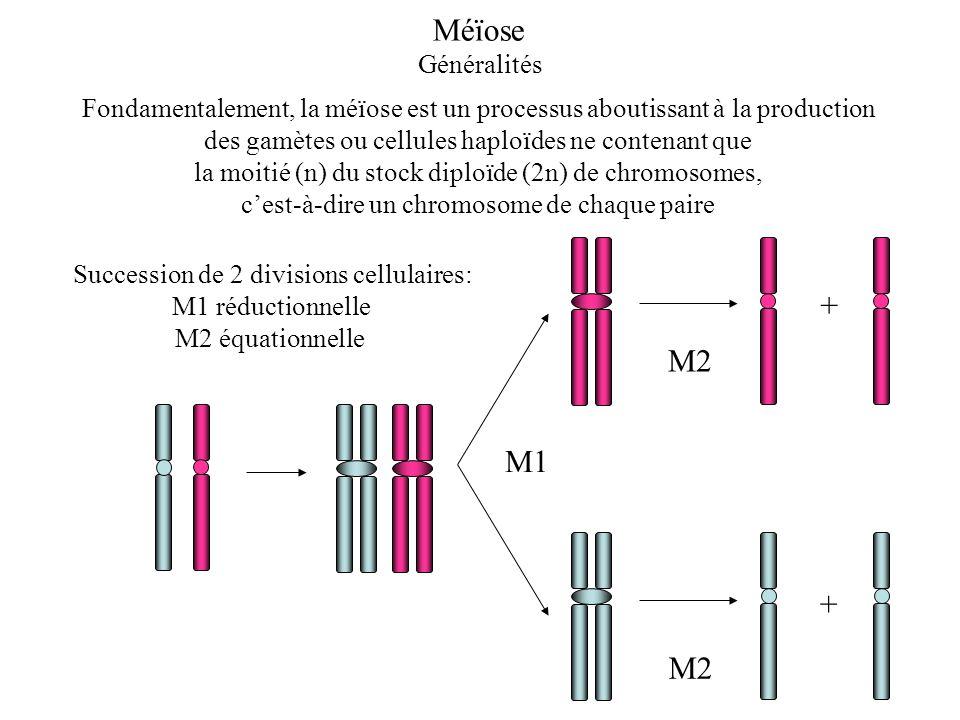 Fondamentalement, la méïose est un processus aboutissant à la production des gamètes ou cellules haploïdes ne contenant que la moitié (n) du stock dip