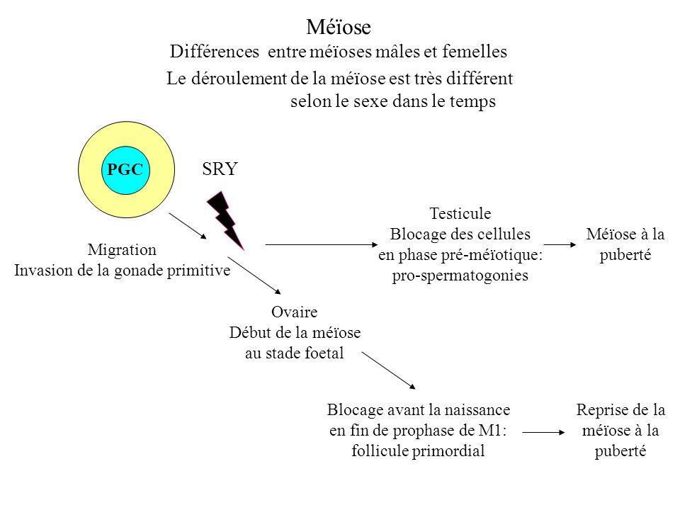 Méïose Différences entre méïoses mâles et femelles Le déroulement de la méïose est très différent selon le sexe PGC Migration Invasion de la gonade pr