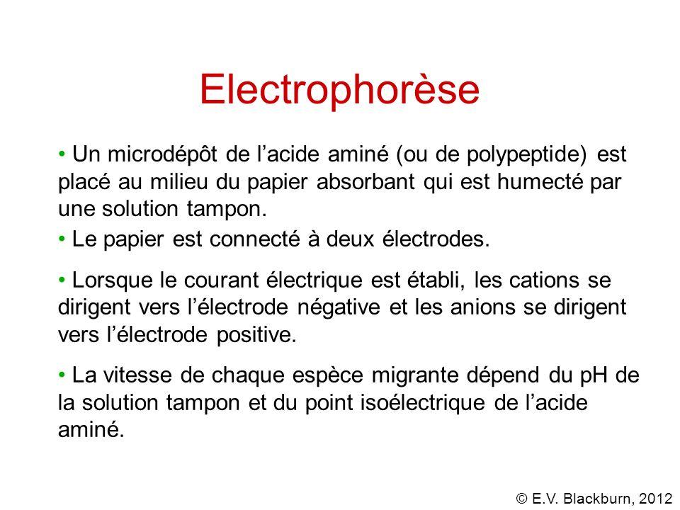 © E.V. Blackburn, 2012 Electrophorèse Le papier est connecté à deux électrodes. Lorsque le courant électrique est établi, les cations se dirigent vers