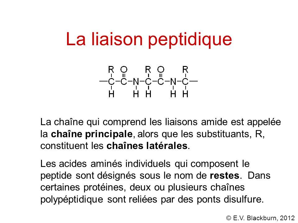 © E.V. Blackburn, 2012 La liaison peptidique La chaîne qui comprend les liaisons amide est appelée la chaîne principale, alors que les substituants, R