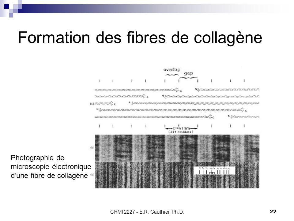 CHMI 2227 - E.R. Gauthier, Ph.D.22 Formation des fibres de collagène Photographie de microscopie électronique dune fibre de collagène