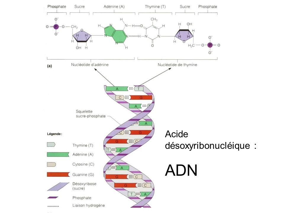 Acide désoxyribonucléique : ADN