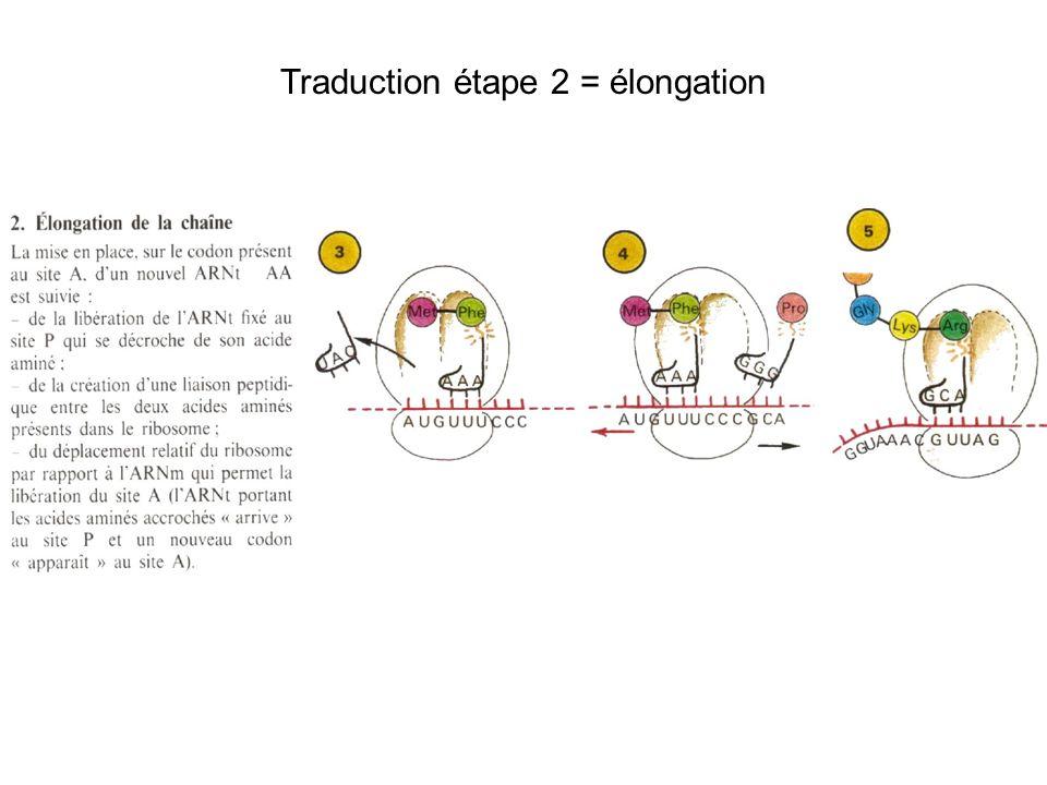 Traduction étape 2 = élongation