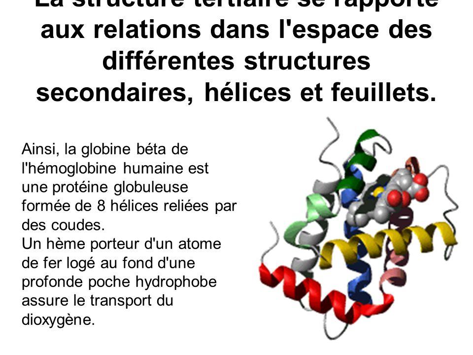 La structure tertiaire se rapporte aux relations dans l'espace des différentes structures secondaires, hélices et feuillets. Ainsi, la globine béta de
