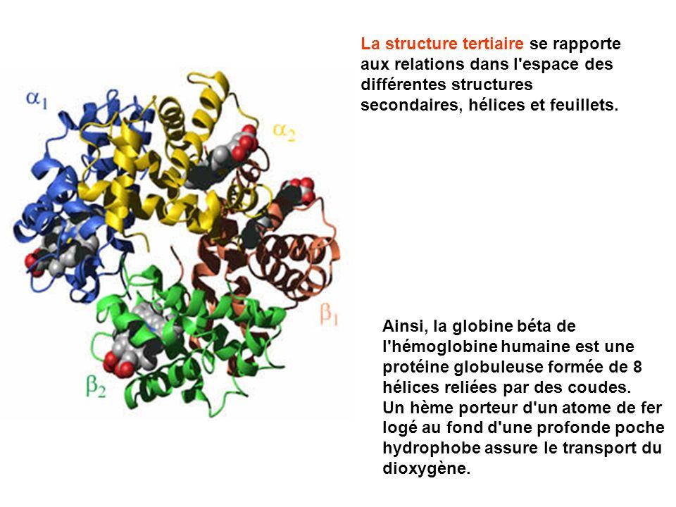 Ainsi, la globine béta de l'hémoglobine humaine est une protéine globuleuse formée de 8 hélices reliées par des coudes. Un hème porteur d'un atome de