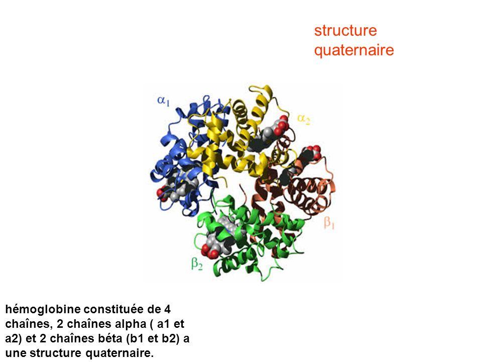 hémoglobine constituée de 4 chaînes, 2 chaînes alpha ( a1 et a2) et 2 chaînes béta (b1 et b2) a une structure quaternaire. structure quaternaire
