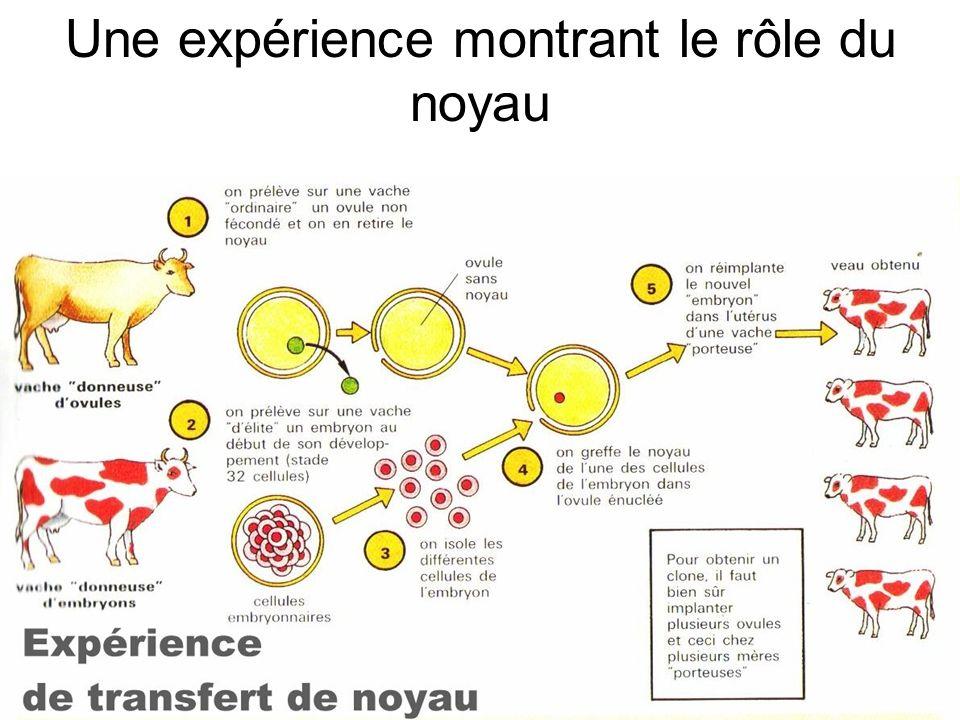 TRANSCRIPTION ADN => ARNm Vu au MET