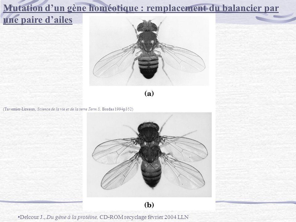 Mutation dun gène homéotique : remplacement du balancier par une paire dailes (Tavernier-Lizeaux, Science de la vie et de la terre Term S, Bordas 1994