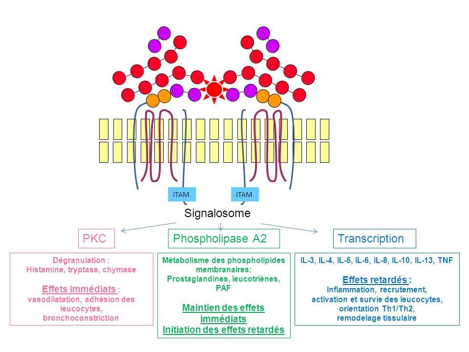 ITAM Signalosome PKCPhospholipase A2Transcription IL-3, IL-4, IL-5, IL-6, IL-8, IL-10, IL-13, TNF Effets retardés : Inflammation, recrutement, activat