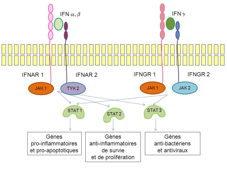STAT 1 STAT 2 STAT 3 Gènes pro-inflammatoires et pro-apoptotiques Gènes anti-inflammatoires de survie et de prolifération Gènes anti-bactériens et ant