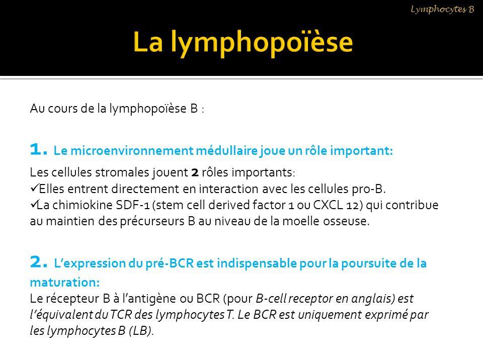 Au cours de la lymphopoïèse B : 1. Le microenvironnement médullaire joue un rôle important: Les cellules stromales jouent 2 rôles importants: Elles en