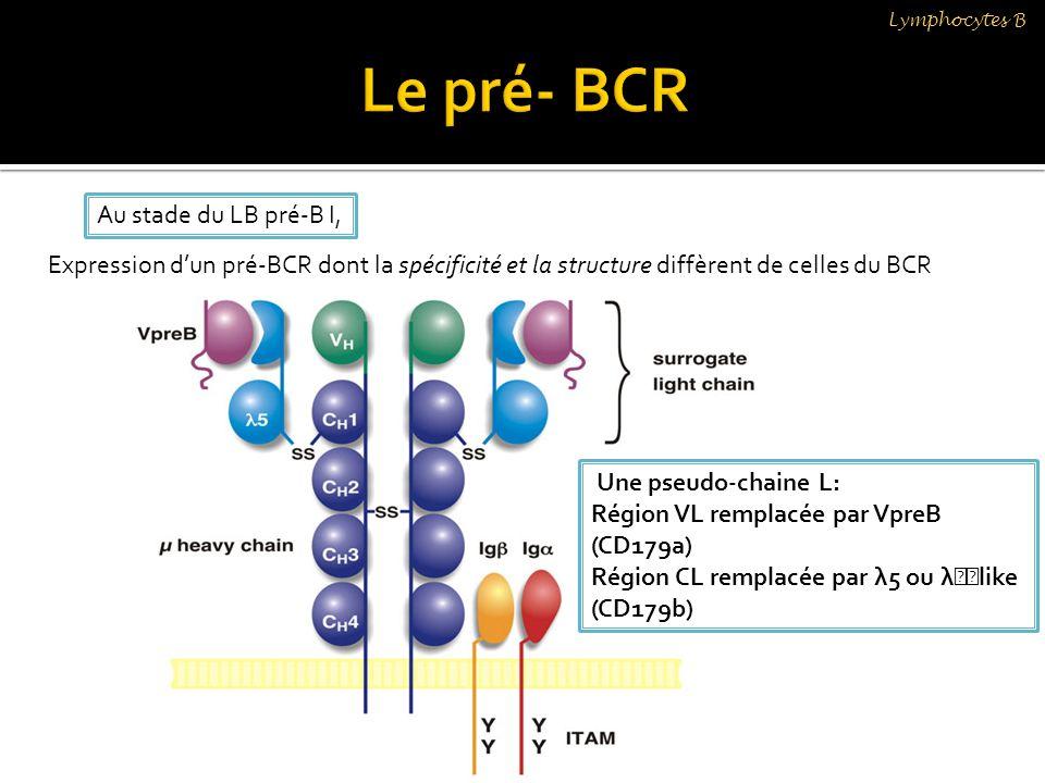 Expression dun pré-BCR dont la spécificité et la structure diffèrent de celles du BCR Au stade du LB pré-B I, Une pseudo-chaine L: Région VL remplacée