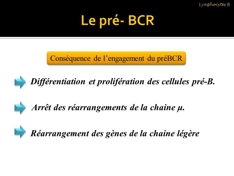 Conséquence de lengagement du préBCR Différentiation et prolifération des cellules pré-B. Arrêt des réarrangements de la chaine μ. Réarrangement des g
