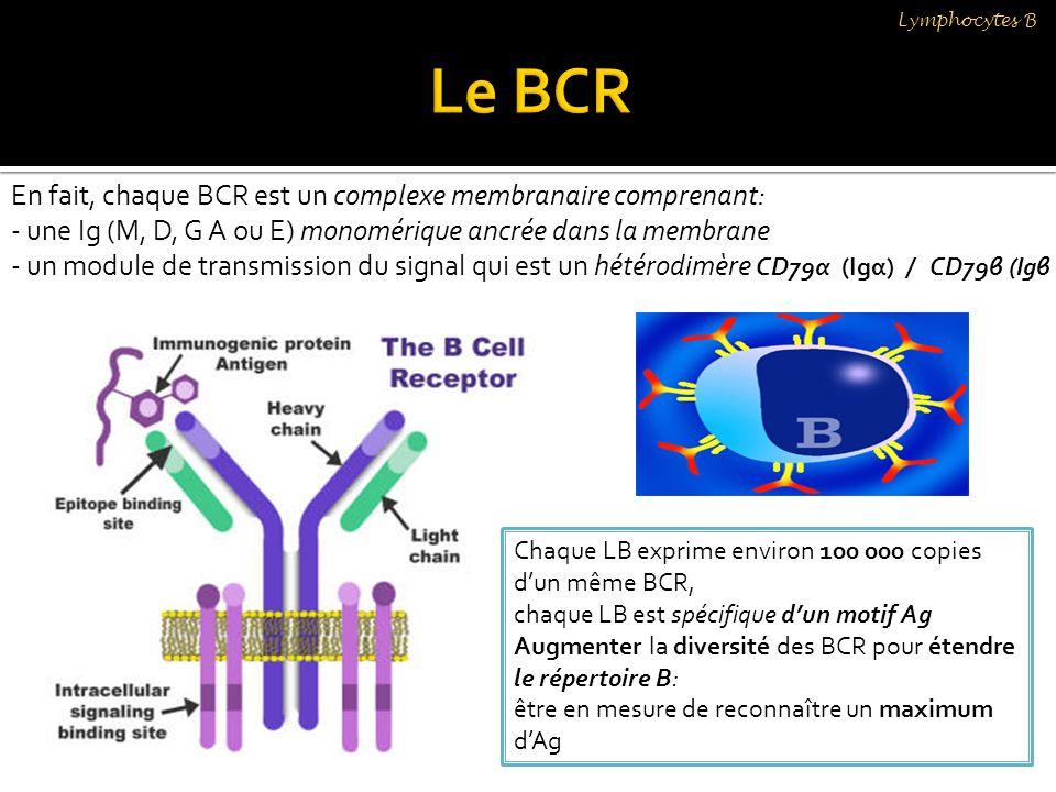 Lymphocytes B En fait, chaque BCR est un complexe membranaire comprenant: - une Ig (M, D, G A ou E) monomérique ancrée dans la membrane - un module de