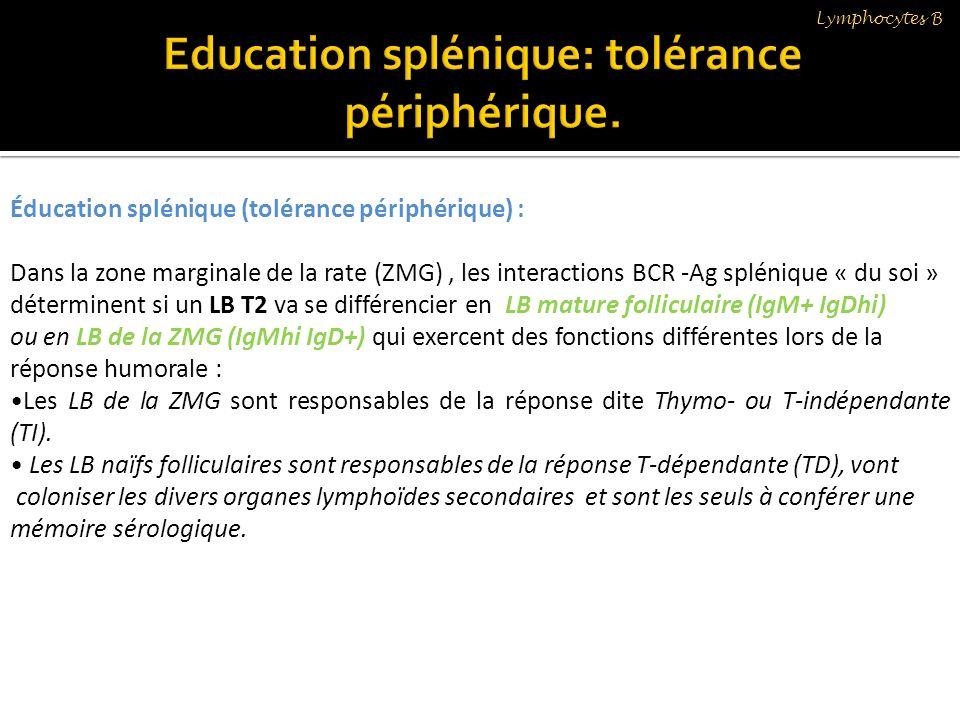 Éducation splénique (tolérance périphérique) : Dans la zone marginale de la rate (ZMG), les interactions BCR -Ag splénique « du soi » déterminent si u