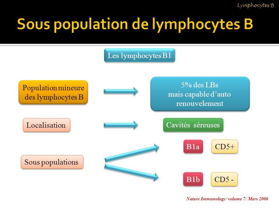 Population mineure des lymphocytes B Population mineure des lymphocytes B Localisation Sous populations 5% des LBs mais capable dauto renouvelement 5%