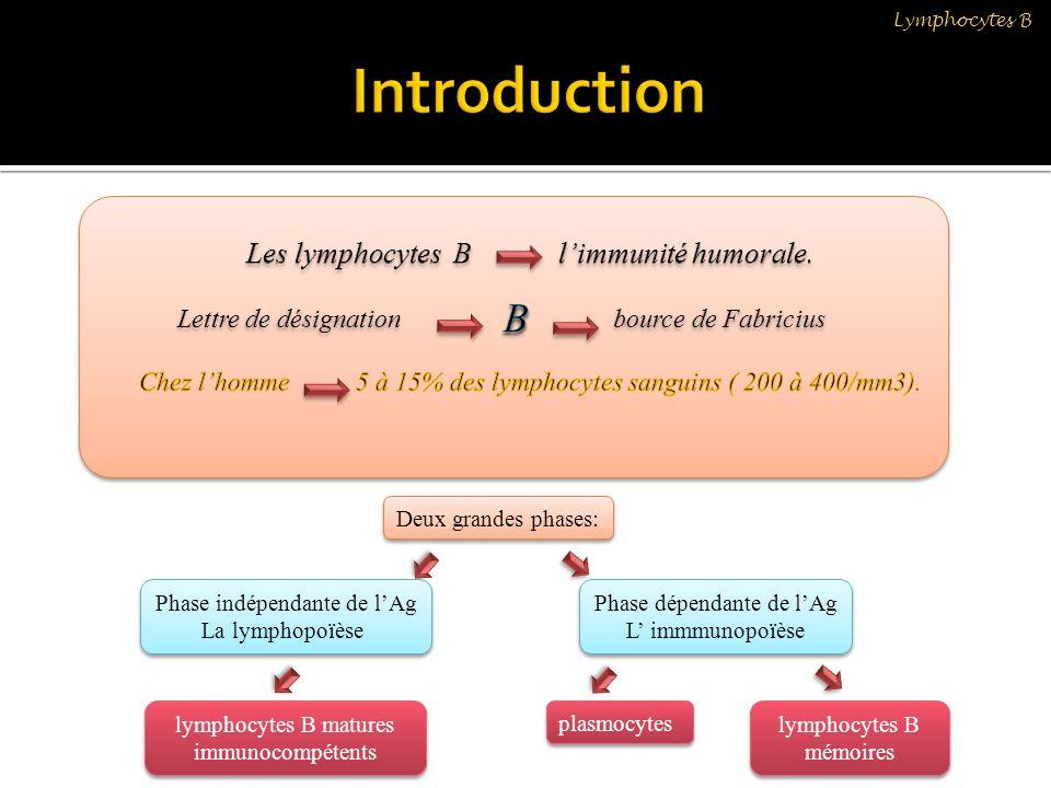 Les lymphocytes B folliculaires Représentent la plus grande majorité des LBs Phénotype: sIgM+, sIgD+++, CD21 low, CD23 High.
