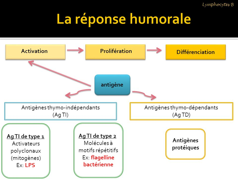 Lymphocytes B Différenciation ActivationProlifération antigène Antigènes thymo-indépendants (Ag TI) Antigènes thymo-dépendants (Ag TD) Antigènes proté