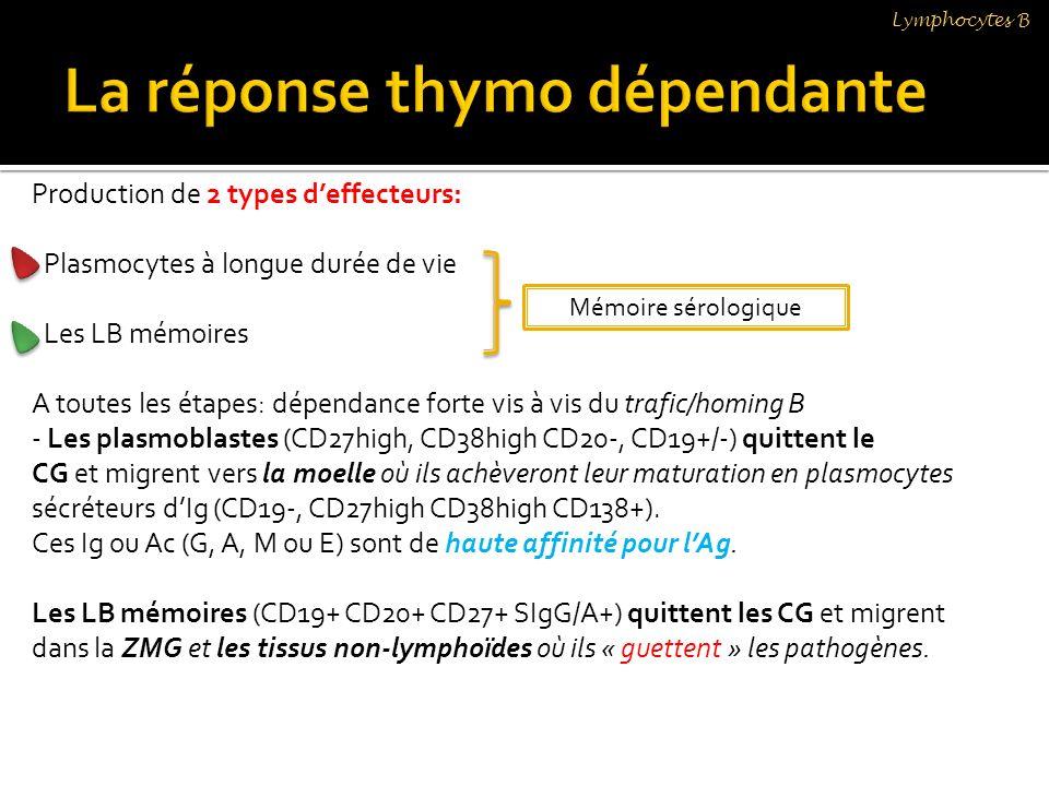 Production de 2 types deffecteurs: Plasmocytes à longue durée de vie Les LB mémoires A toutes les étapes: dépendance forte vis à vis du trafic/homing