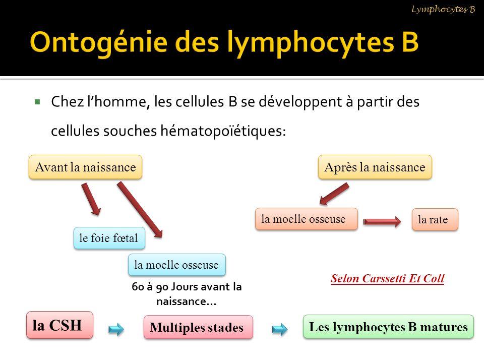 Chez lhomme, les cellules B se développent à partir des cellules souches hématopoïétiques: Lymphocytes B Avant la naissance le foie fœtal la moelle os