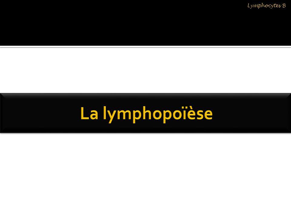 LB1aLB1b Phénotype CD5+CD5 - Protection contre les pathogène (parasites, bactéries) ++++++++++ Production danticorps anti phosphatidylcholine (ACs Naturels) +- Réponse aux cytokines IL4 et IL5IL9 Lymphocytes B Montecino Rodriguez et col; 2006