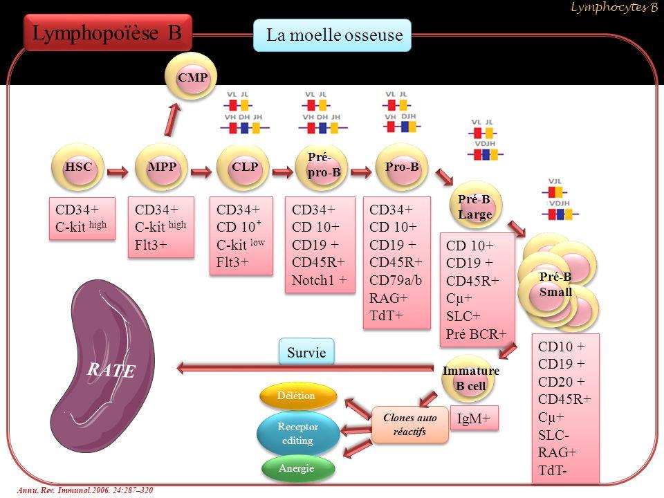 Survie HSCMPPCLP Pré- pro-B Pro-B Pré-B Large Immature B cell CMP Lymphopoïèse B CD34+ C-kit high CD34+ C-kit high CD34+ C-kit high Flt3+ CD34+ C-kit