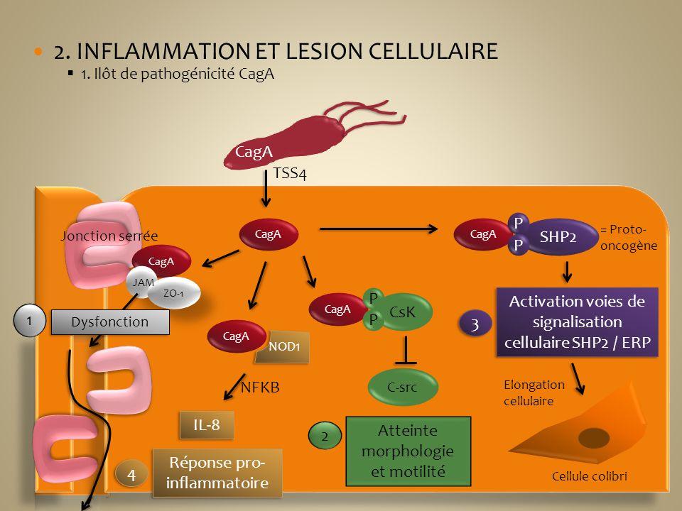 2. INFLAMMATION ET LESION CELLULAIRE 1. Ilôt de pathogénicité CagA Jonction serrée CagA TSS4 CagA ZO-1 JAM Dysfonction 1 CagA CsK P P C-src Atteinte m