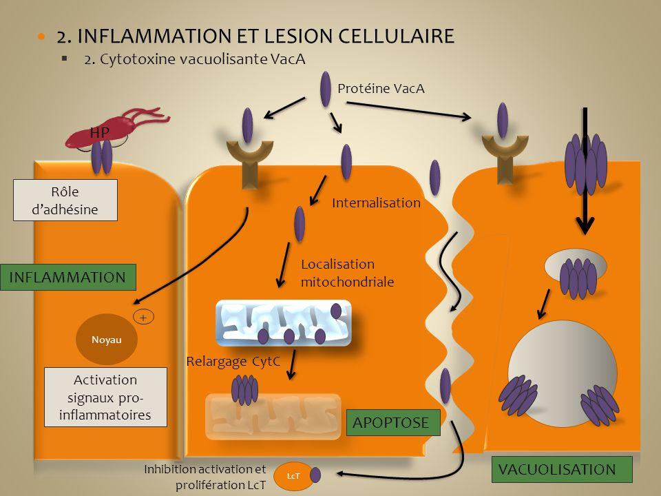 2. INFLAMMATION ET LESION CELLULAIRE 2. Cytotoxine vacuolisante VacA HP Rôle dadhésine Protéine VacA Noyau Activation signaux pro- inflammatoires + IN