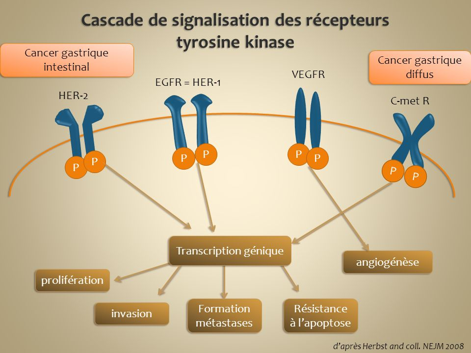 EGFR = HER-1 HER-2 VEGFR C-met R Transcription génique prolifération invasion Formation métastases Résistance à lapoptose angiogénèse P P P P P P P P