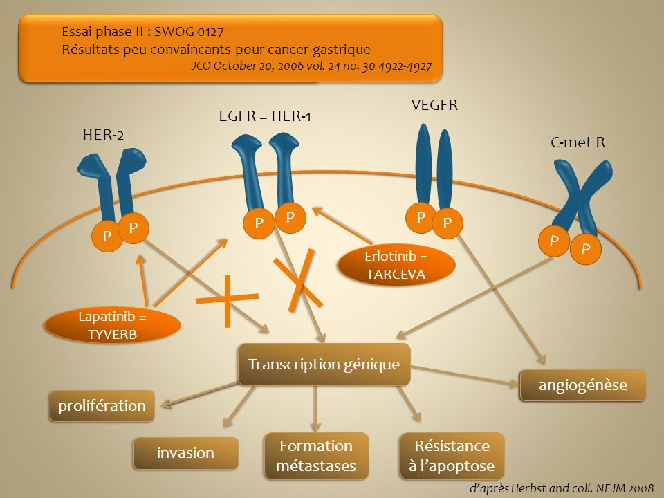prolifération invasion Formation métastases Résistance à lapoptose angiogénèse Erlotinib = TARCEVA Lapatinib = TYVERB Etude de phase III LOGIC en cour