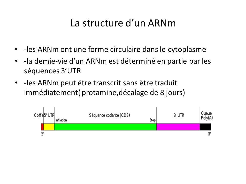 La structure dun ARNm -les ARNm ont une forme circulaire dans le cytoplasme -la demie-vie dun ARNm est déterminé en partie par les séquences 3UTR -les
