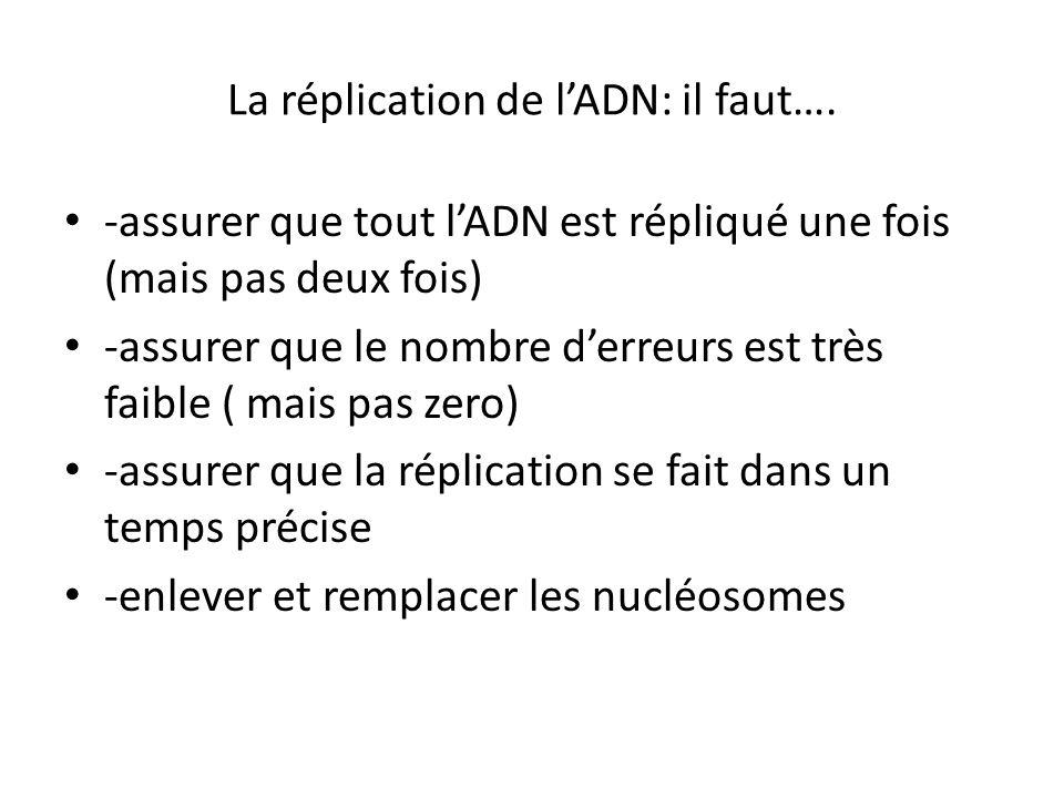 La réplication de lADN: il faut…. -assurer que tout lADN est répliqué une fois (mais pas deux fois) -assurer que le nombre derreurs est très faible (