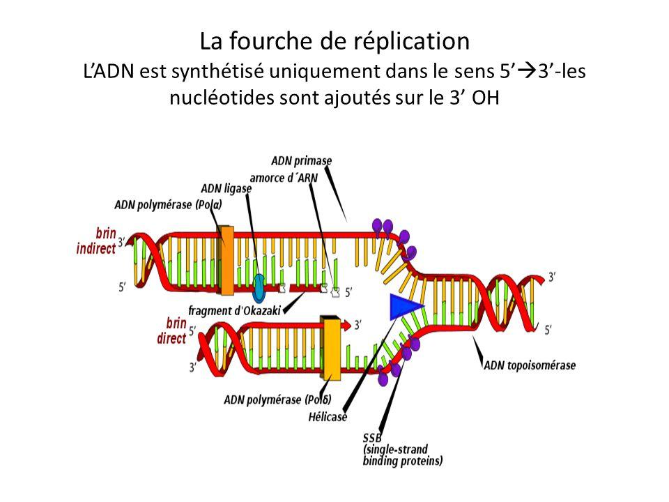 La fourche de réplication LADN est synthétisé uniquement dans le sens 5 3-les nucléotides sont ajoutés sur le 3 OH