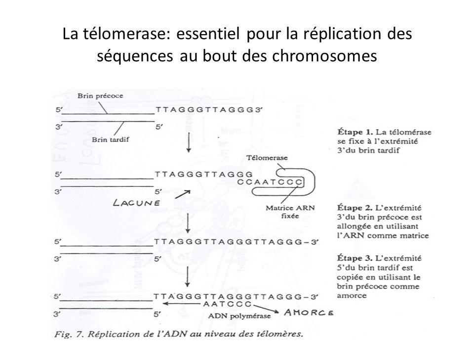 La télomerase: essentiel pour la réplication des séquences au bout des chromosomes