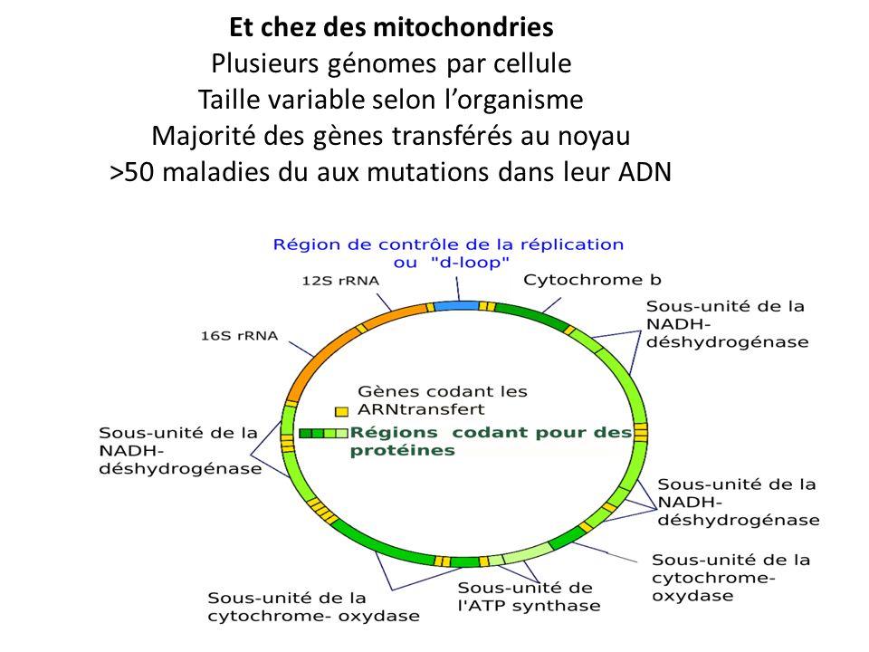 Et chez des mitochondries Plusieurs génomes par cellule Taille variable selon lorganisme Majorité des gènes transférés au noyau >50 maladies du aux mu