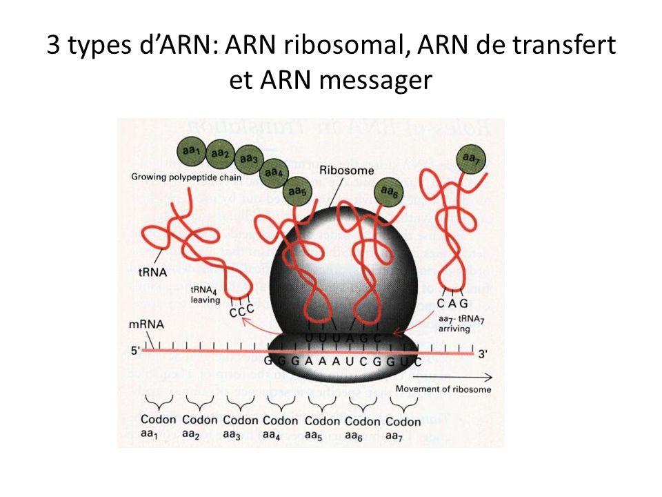 3 types dARN: ARN ribosomal, ARN de transfert et ARN messager