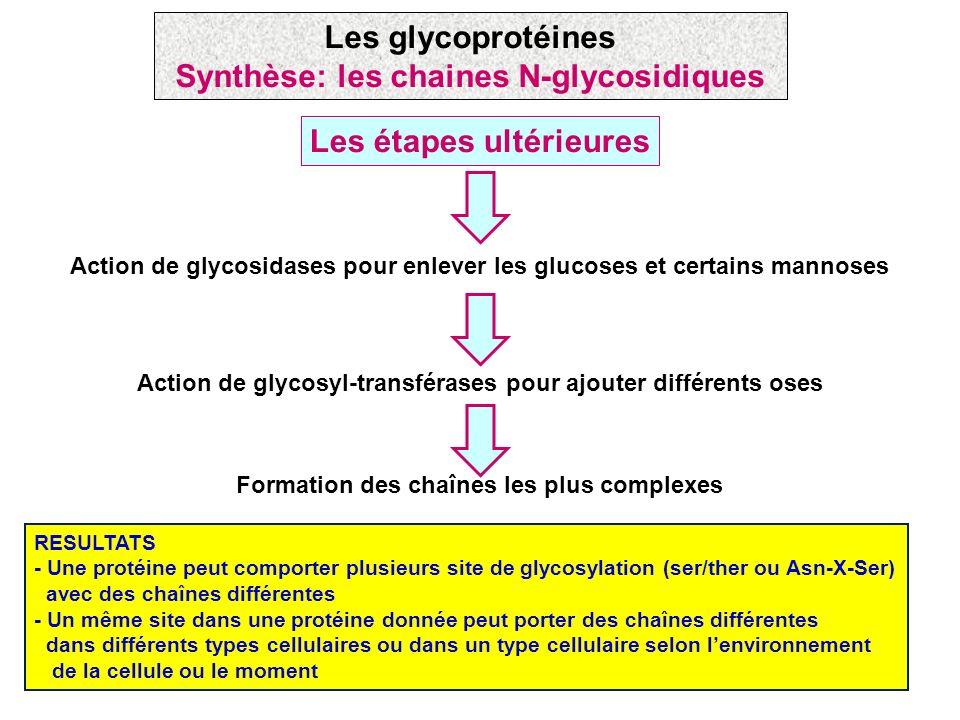 RESULTATS - Une protéine peut comporter plusieurs site de glycosylation (ser/ther ou Asn-X-Ser) avec des chaînes différentes - Un même site dans une p