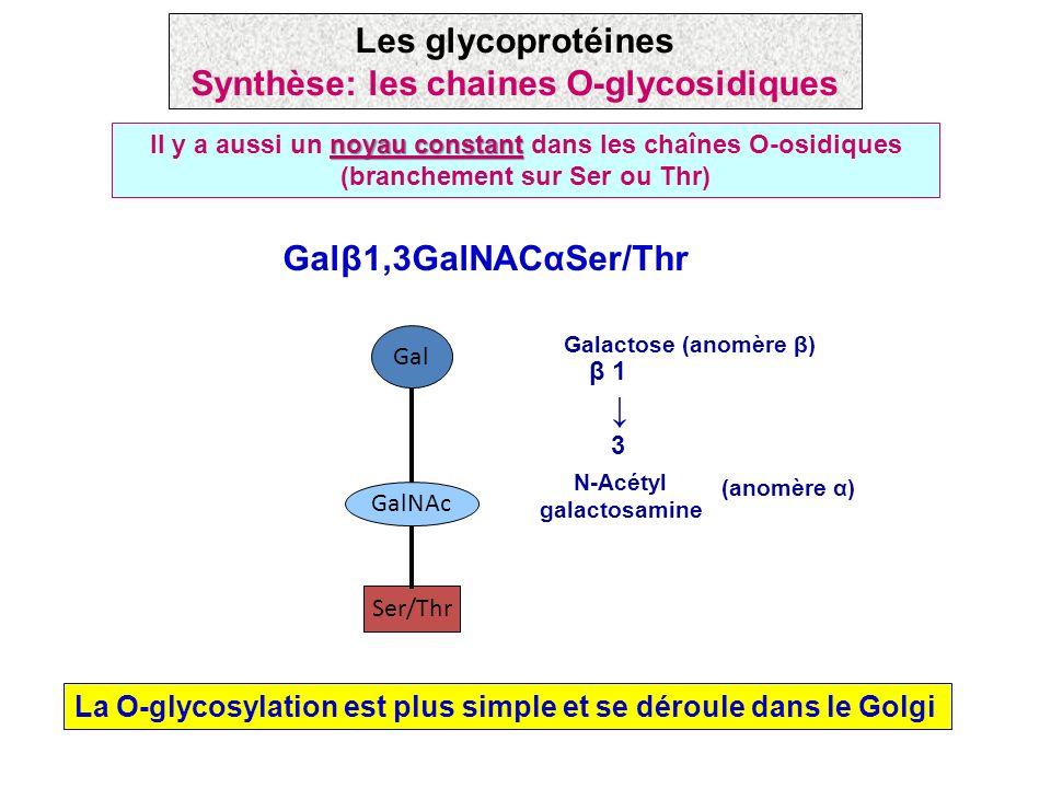 noyau constant Il y a aussi un noyau constant dans les chaînes O-osidiques (branchement sur Ser ou Thr) Ser/Thr GalNAc Gal Galβ1,3GalNACαSer/Thr Galac