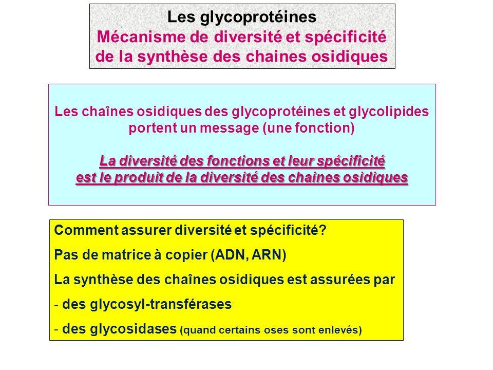Comment assurer diversité et spécificité? Pas de matrice à copier (ADN, ARN) La synthèse des chaînes osidiques est assurées par - des glycosyl-transfé