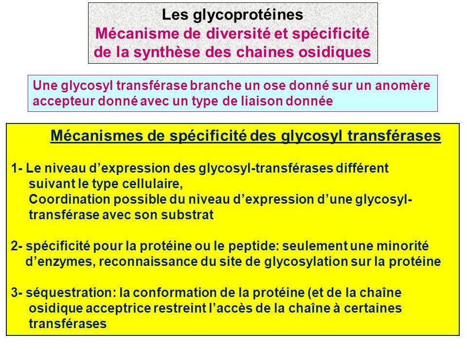 Mécanismes de spécificité des glycosyl transférases 1- Le niveau dexpression des glycosyl-transférases différent suivant le type cellulaire, Coordinat