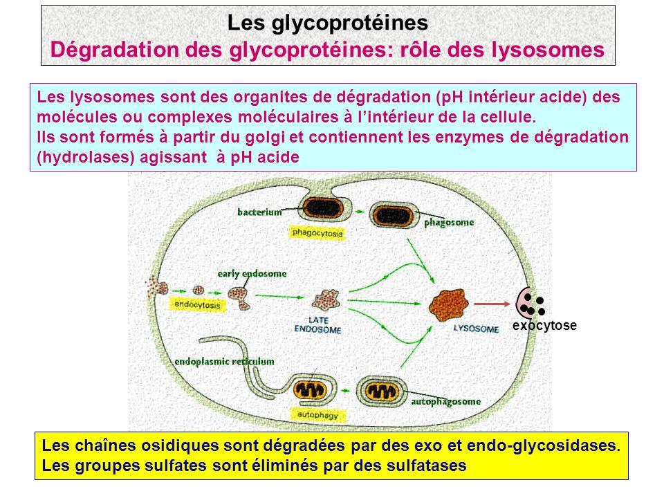 Les lysosomes sont des organites de dégradation (pH intérieur acide) des molécules ou complexes moléculaires à lintérieur de la cellule. Ils sont form