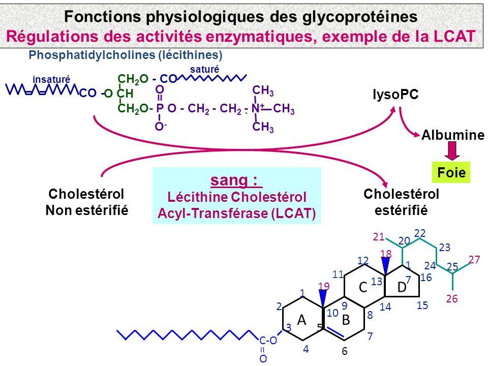 Les hétéropolysaccharides conjugués aux protéines et lipides Rôle des chaînes osidiques: Exemple de la LCAT sang : Lécithine Cholestérol Acyl-Transfér