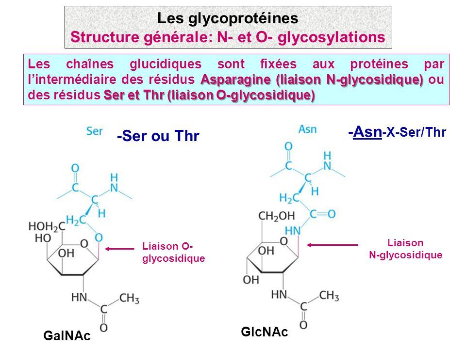 Asparagine (liaison N-glycosidique) Ser et Thr (liaison O-glycosidique) Les chaînes glucidiques sont fixées aux protéines par lintermédiaire des résid