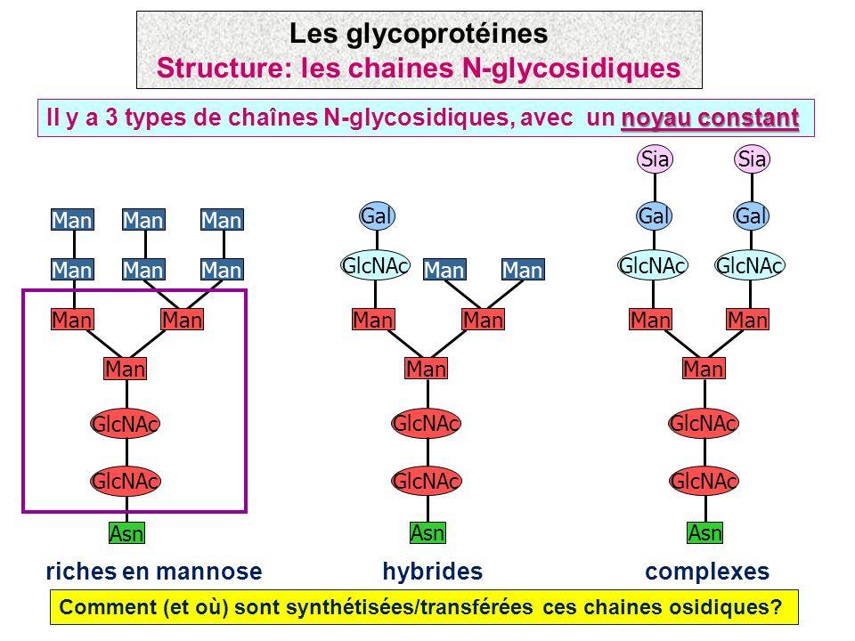 noyau constant Il y a 3 types de chaînes N-glycosidiques, avec un noyau constant riches en mannose Man Asn GlcNAc Man Asn GlcNAc Gal hybrides Man Asn