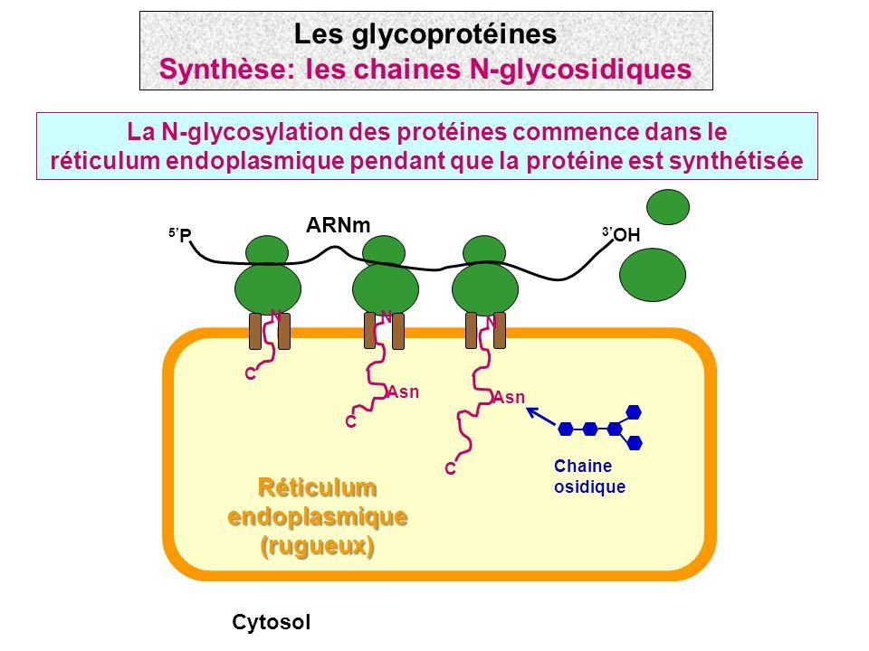 La N-glycosylation des protéines commence dans le réticulum endoplasmique pendant que la protéine est synthétisée Les glycoprotéines Synthèse: les cha