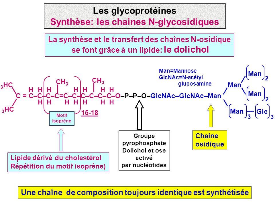 La synthèse et le transfert des chaînes N-osidique se font grâce à un lipide: le dolichol Une chaîne de composition toujours identique est synthétisée