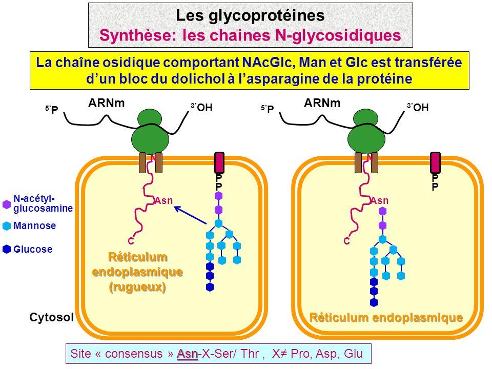 La chaîne osidique comportant NAcGlc, Man et Glc est transférée dun bloc du dolichol à lasparagine de la protéine Asn Site « consensus » Asn-X-Ser/ Th