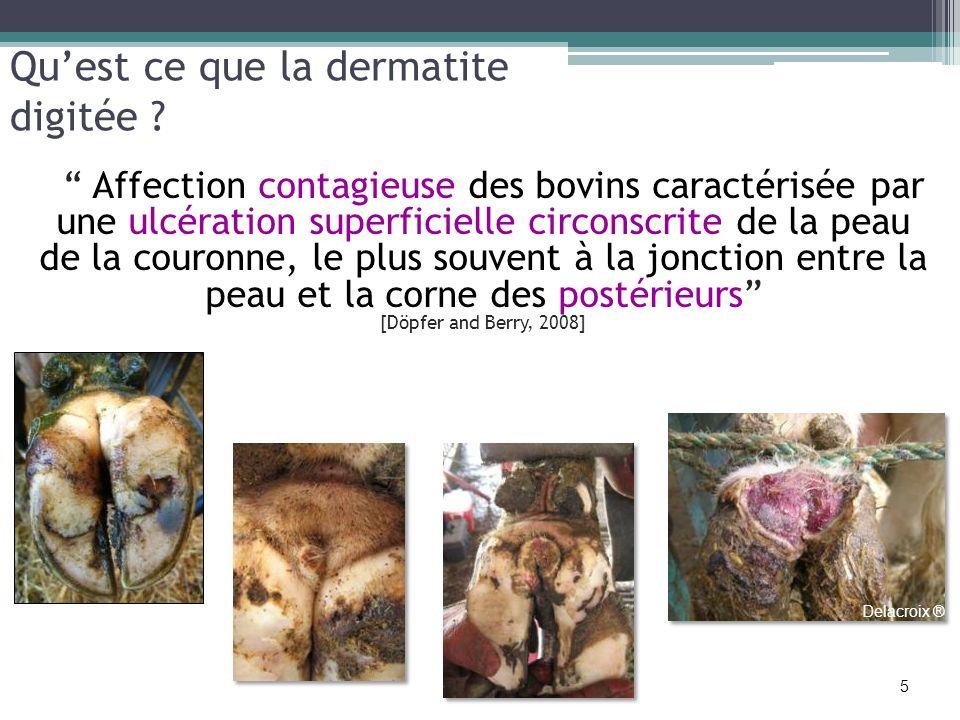 Affection contagieuse des bovins caractérisée par une ulcération superficielle circonscrite de la peau de la couronne, le plus souvent à la jonction e