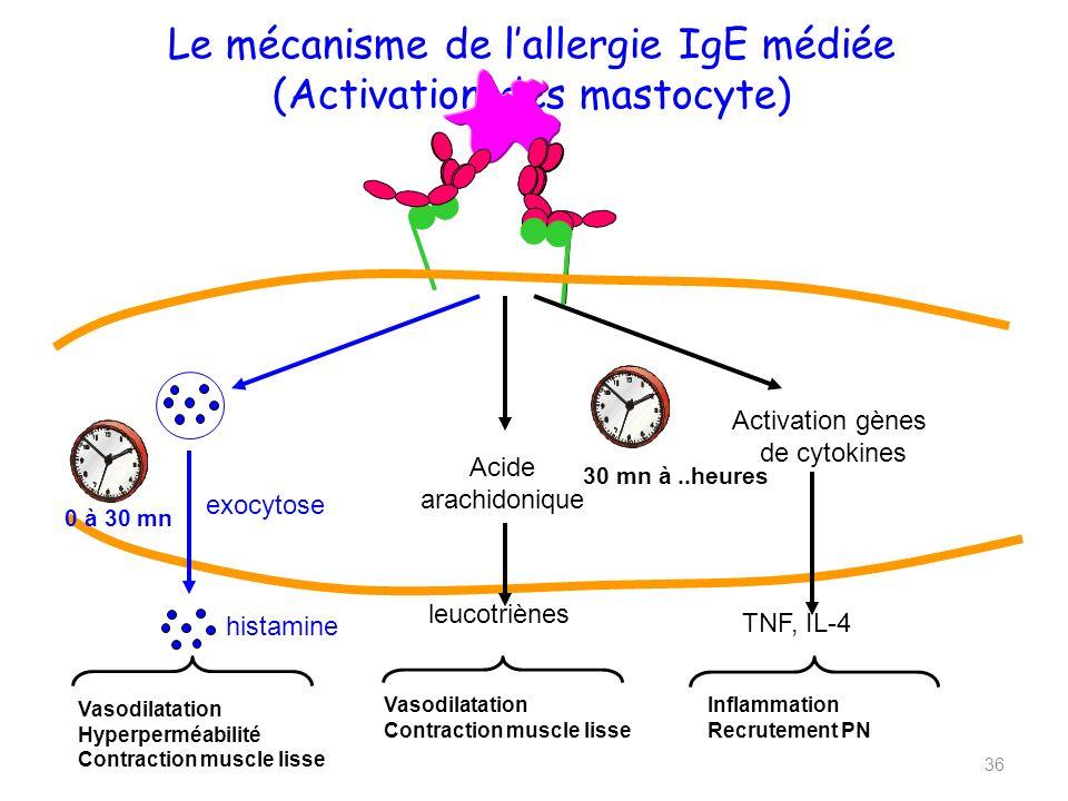Le mécanisme de lallergie IgE médiée (Activation des mastocyte) 0 à 30 mn exocytose Acide arachidonique leucotriènes histamine Activation gènes de cytokines 30 mn à..heures TNF, IL-4 Vasodilatation Contraction muscle lisse Vasodilatation Hyperperméabilité Contraction muscle lisse Inflammation Recrutement PN 36