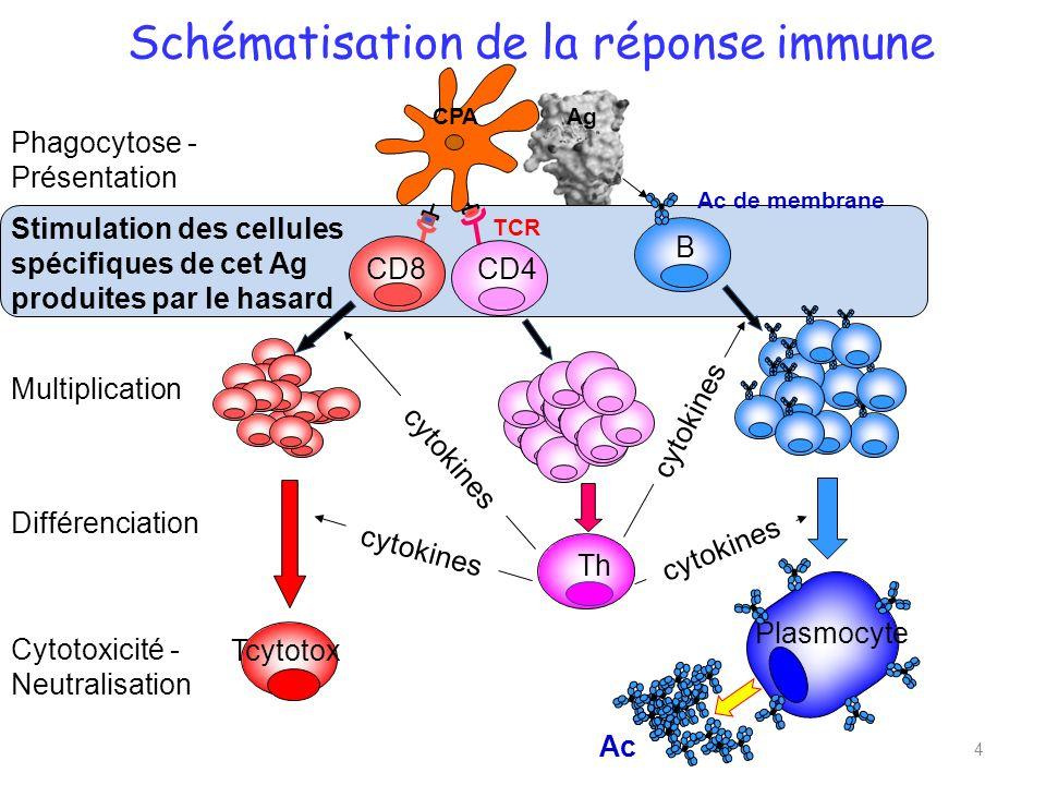 Schématisation de la réponse immune CD8CD4 B Th Tcytotox Plasmocyte cytokines Ac Phagocytose - Présentation Stimulation des cellules spécifiques de cet Ag produites par le hasard Multiplication Différenciation Cytotoxicité - Neutralisation 4 TCR Ac de membrane CPAAg